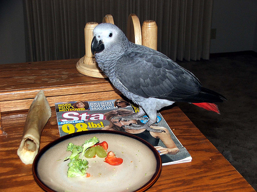 Talking Congo African Grey Female Parrots 2