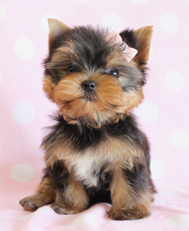 Male And Female Teacup Yorkie  Puppies For Sale