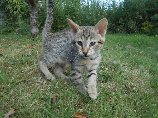 F1 Savannah Kittens Available For Sale- Super Spotted