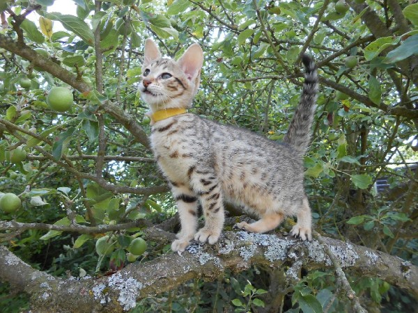 F1 Savannah Kittens Available For Sale- Super Spotted 2