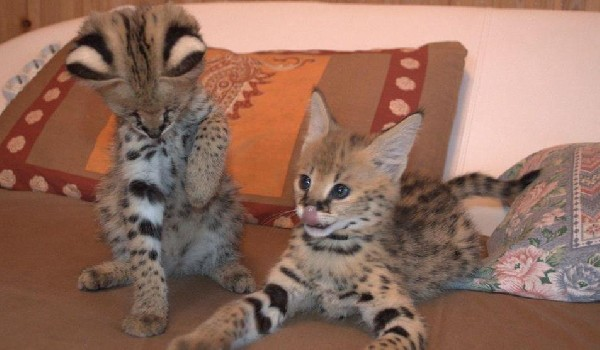 Bottle Fed Serval Kittens