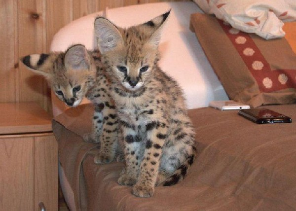 Bottle Fed Serval Kittens 2