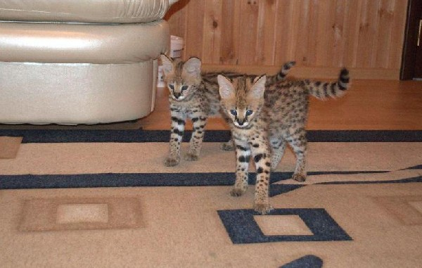 Bottle Fed Serval Kittens 3
