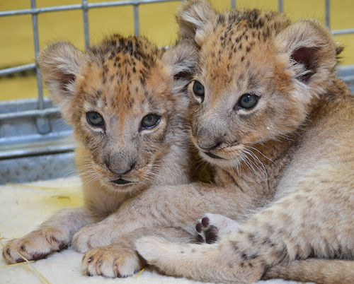 Well Trained Big Cats Available For Sale