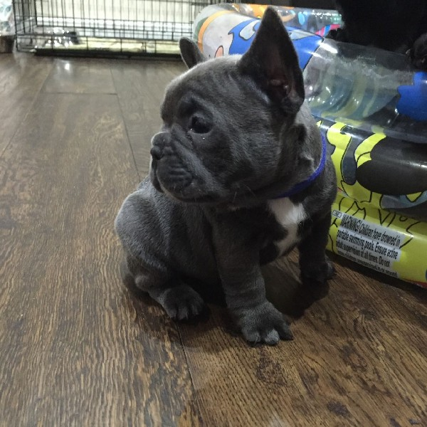 Stunning Blue French Bull Dog A Boy And 2 Girls 2