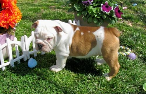 Adorable English Bulldog Puppies For Adoption