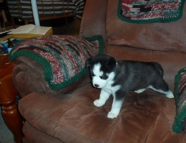 ?????amazing Top Quality Angelic 12 Weeks Old Baby Huskies For Free Adoption?????? (870)6671984  ???