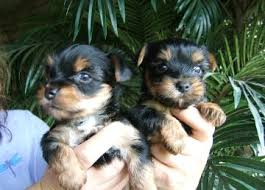 Healthy Purebred Tiny Yorkie Puppies...