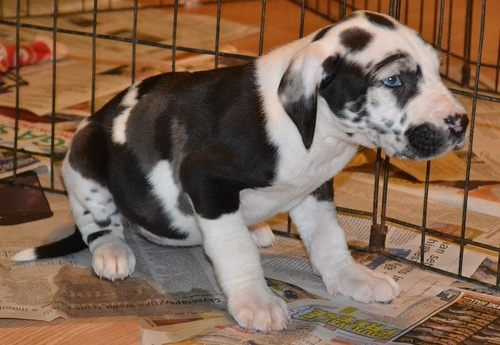 10 Weeks Old Health And Sound Females And Males Pure Breed Great Dane Puppies Approved