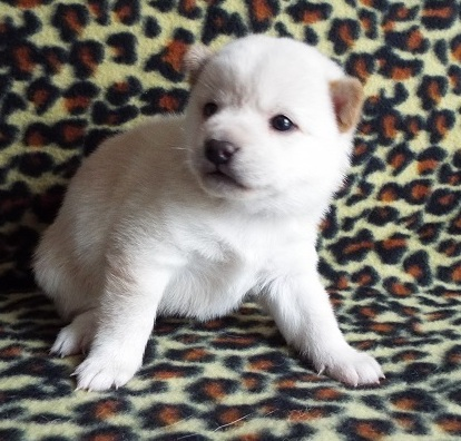 Healthy Superb Shiba Inu Pups For Sale