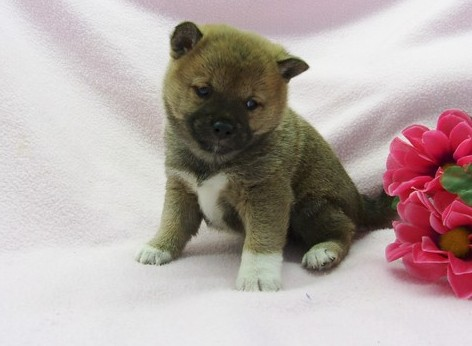 Xtremely Cute Healthy Shiba Inu Puppies For Sale
