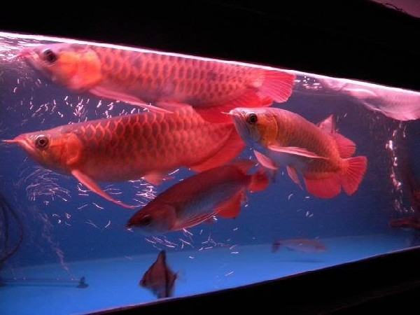 Premium Quality Super Red Arowana Fish And Many Others